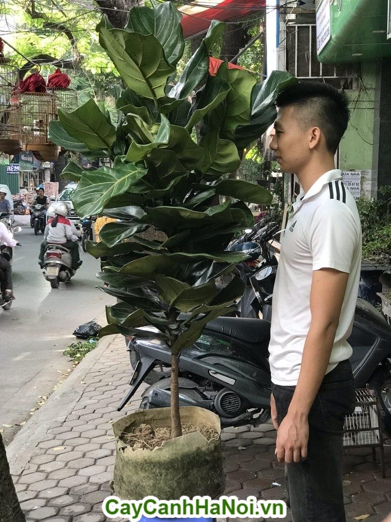 Hình ảnh chiều cao cây bàng Singapore so với chiều cao người thật