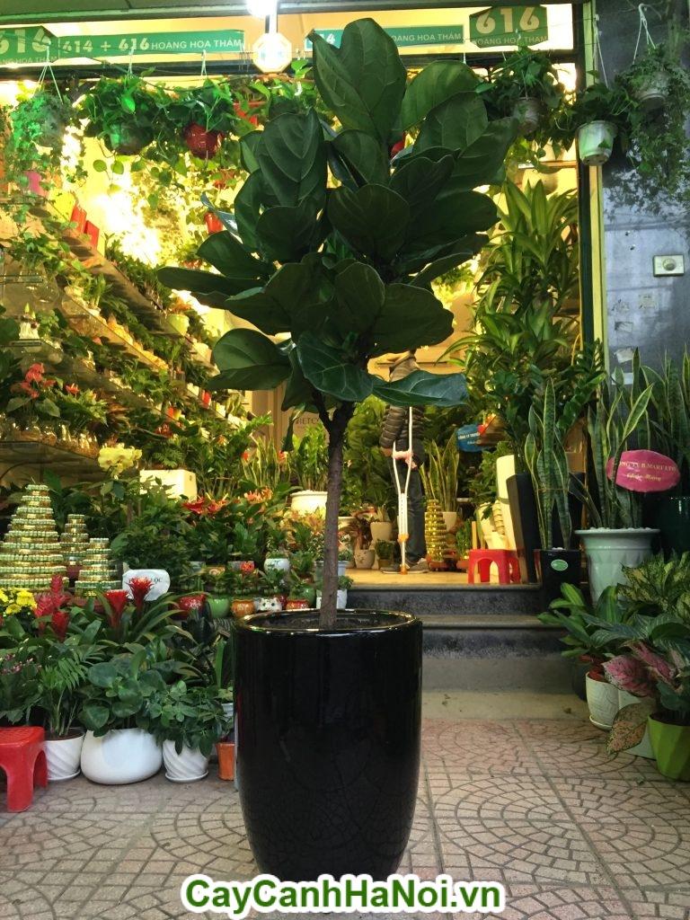 Hình ảnh cây bàng Singapore đã lớn