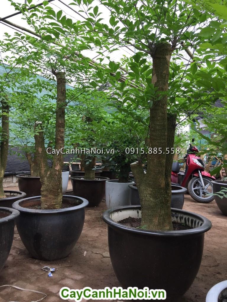 Hướng dẫn cách mua cây Hạnh Phúc