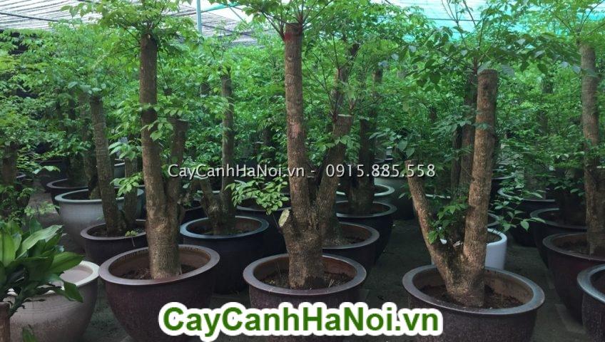 Cây Hạnh Phúc nên để ở sảnh lớn hoặc trong vườn