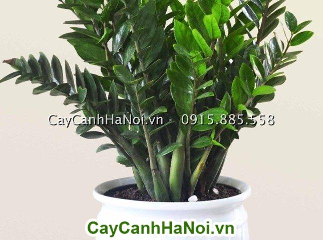 Cay Kim Tien (Cay Kim Phat Tai)
