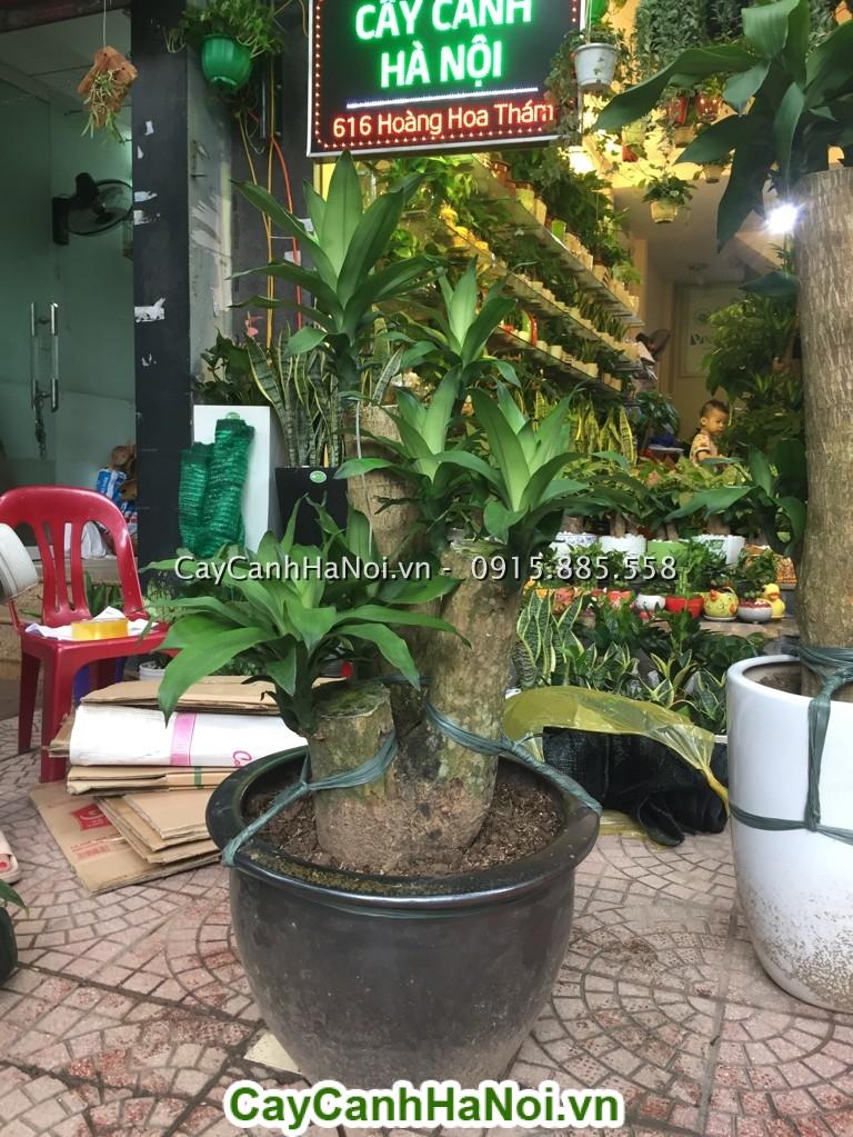 Mua cây Thiết Mộc Lan đẹp nhất tại Hà Nội