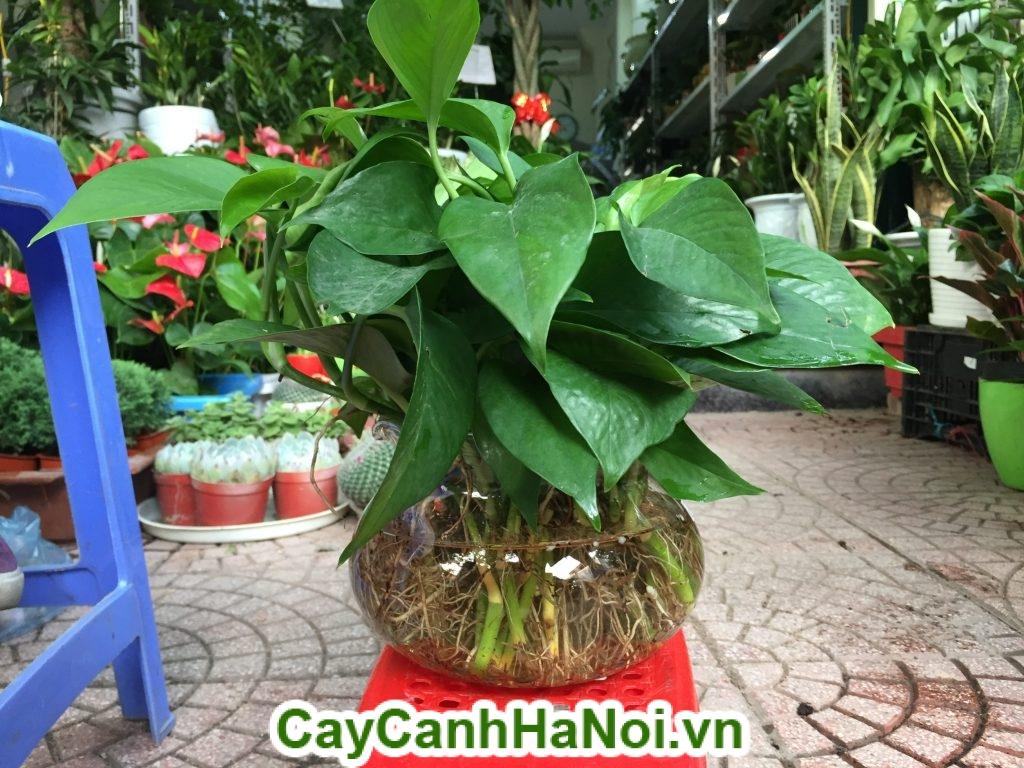 Ngoài việc trồng trong đất, cây Vạn Niên Thanh cũng trồng được trong nước