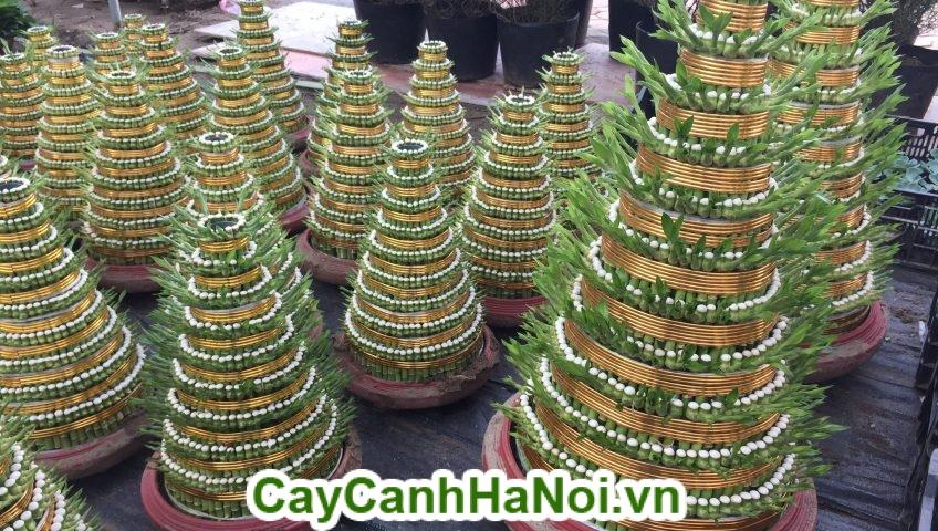 Cây Phát Lộc tầng là mong muốn của hàng hay quán cà phê thu hút được nhiều khách