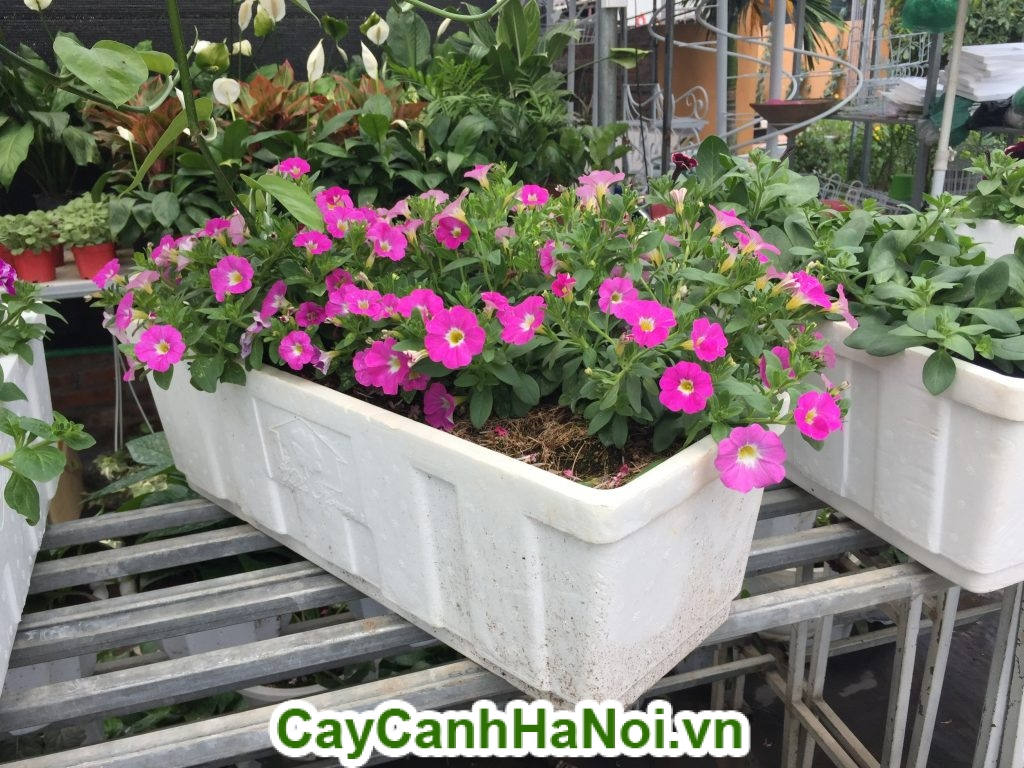 Hoa Dạ Yến Thảo trồng trong bồn