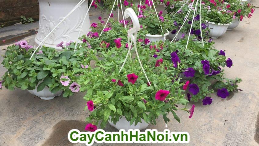 Hoa dạ yến thảo trồng trong chậu treo đặt trên ban công.