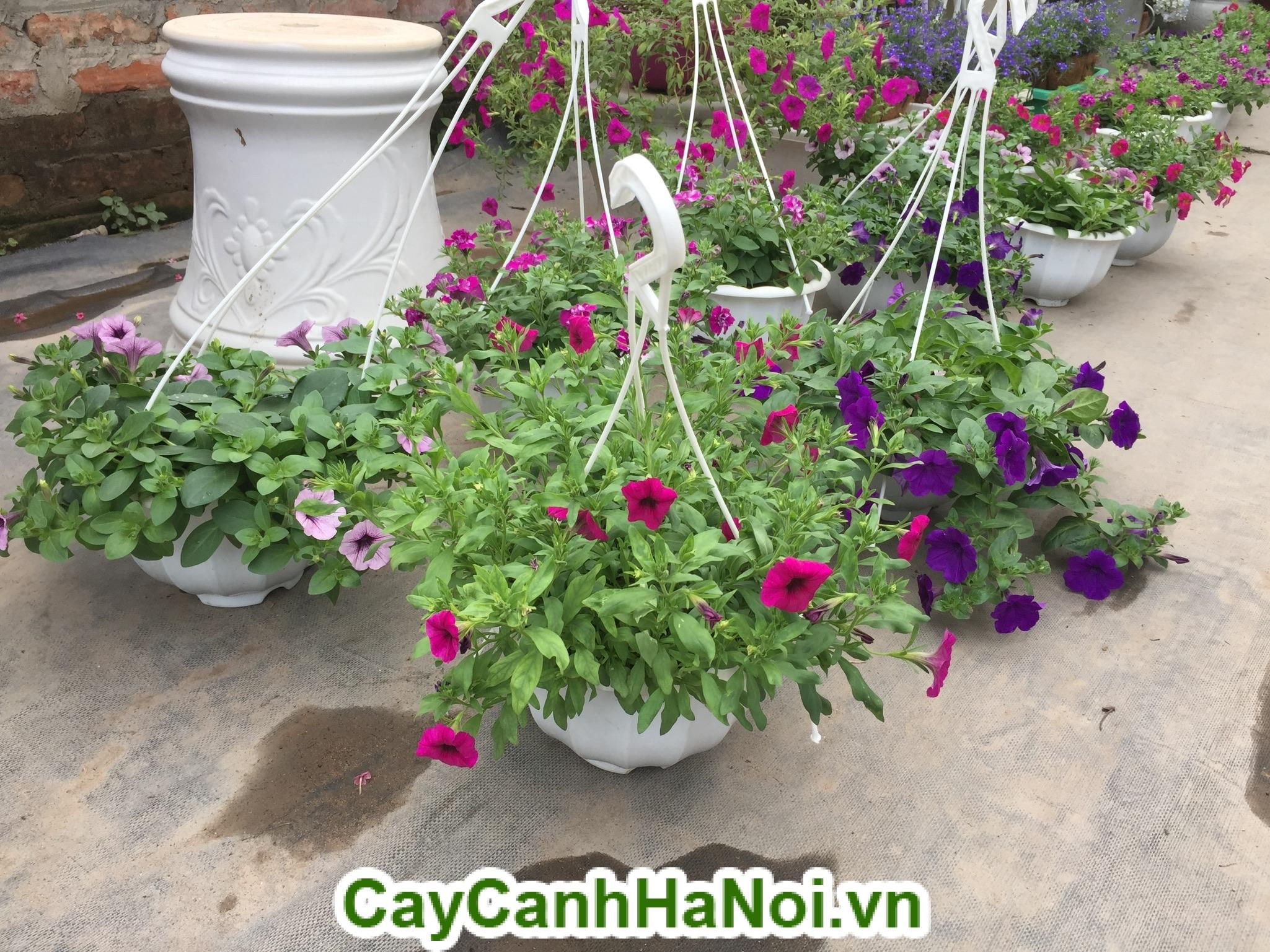Hoa Dạ Yến Thảo và cách chăm sóc