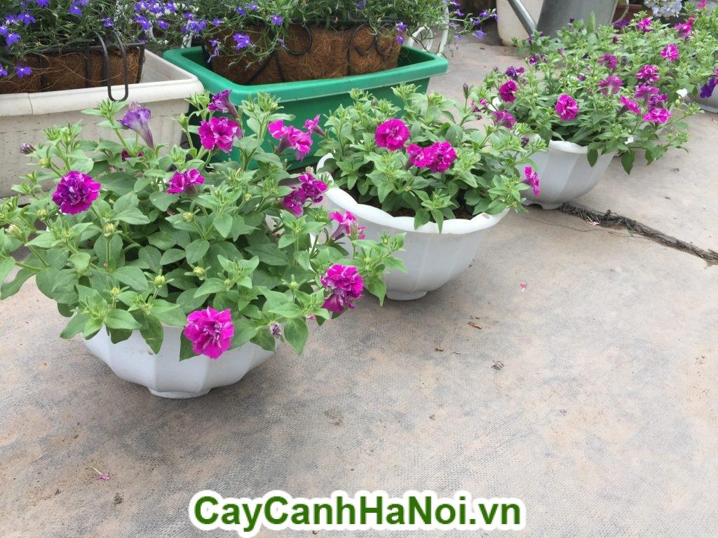 Hoa dạ yến thảo và cách chăm sóc hoa