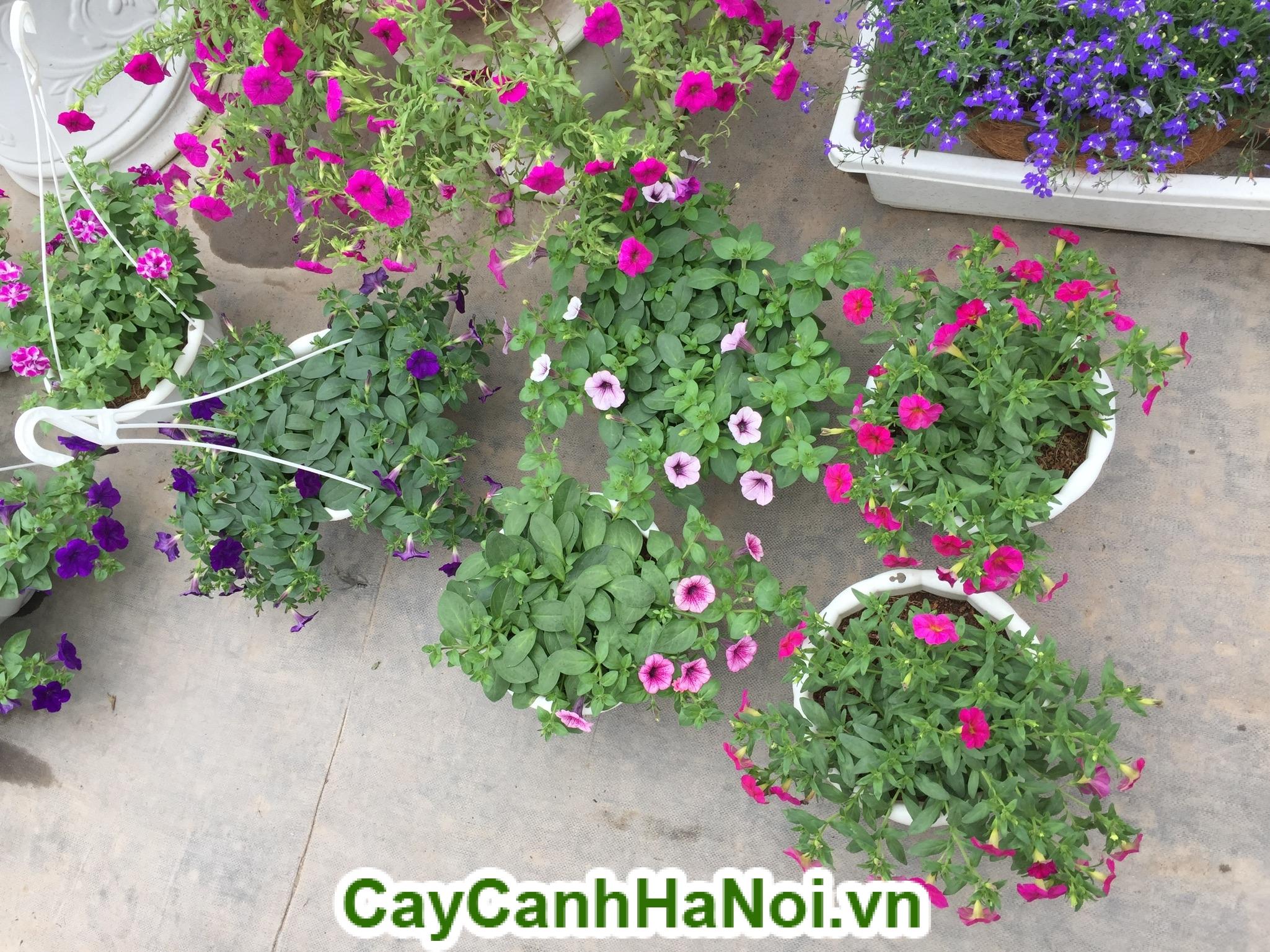 4 loại hoa ban công giúp nhà bạn đẹp hơn bao giờ hết