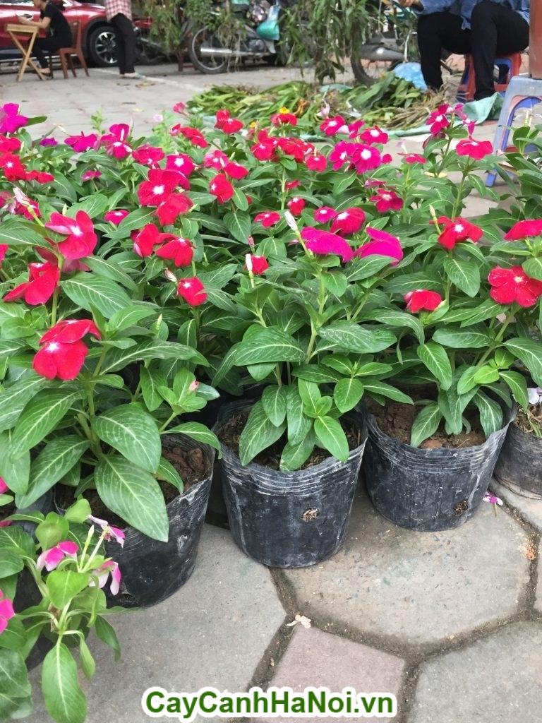Giống của hoa Dừa Cạn tại Hà Nội