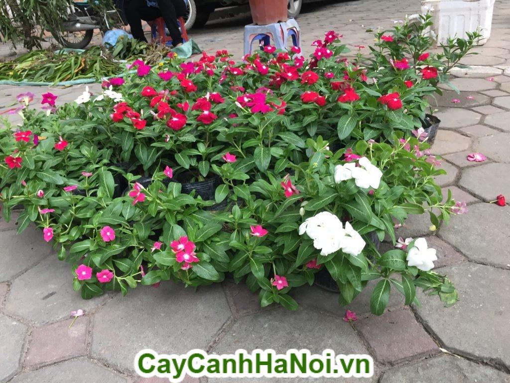 Hoa Dừa Cạn và đặc điểm của nó