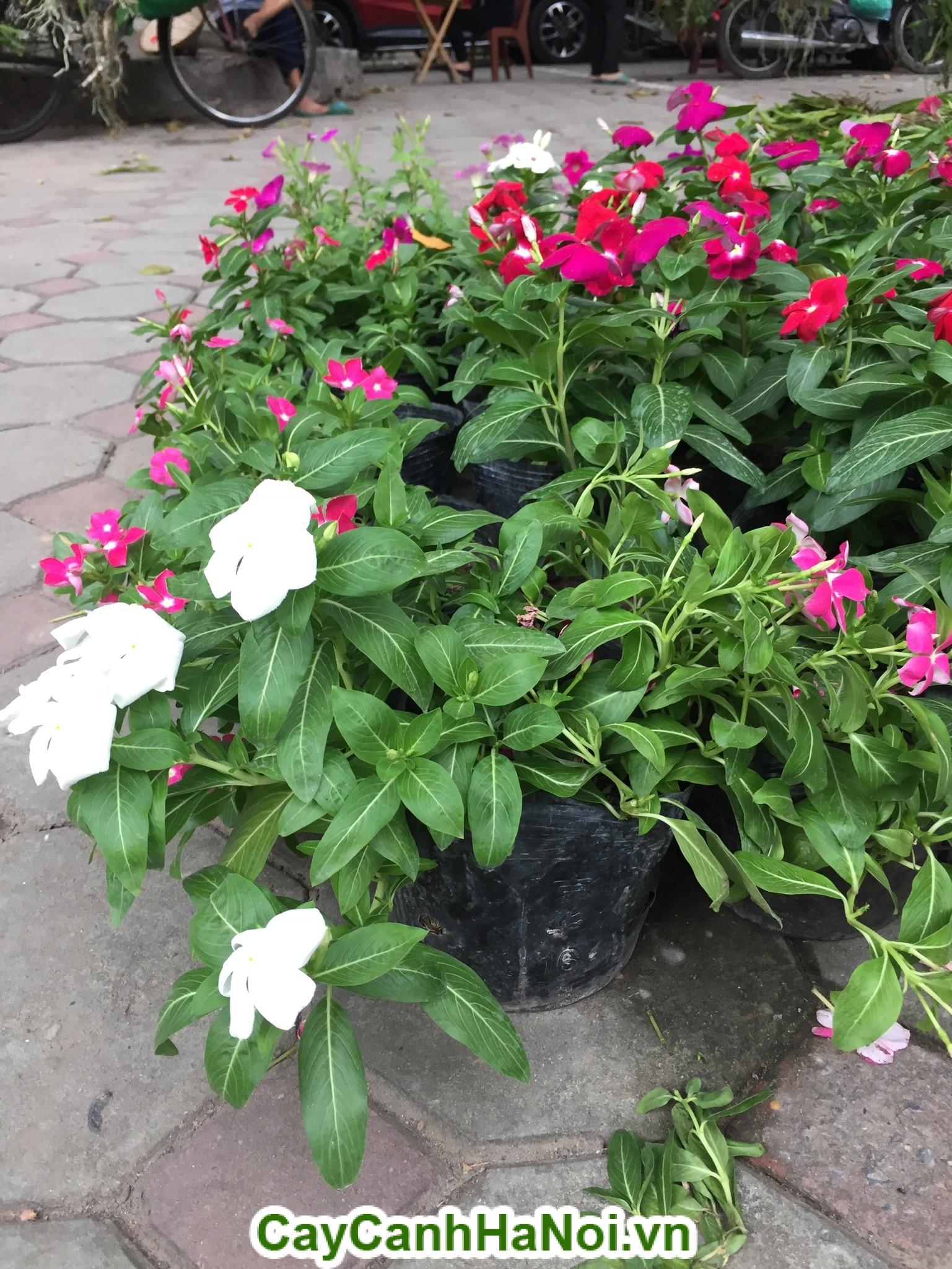 Hoa Dừa Cạn với nhiều màu sắc và loại cây này chịu được nắng tốt giúp bạn dễ dàng trồng và chăm sóc