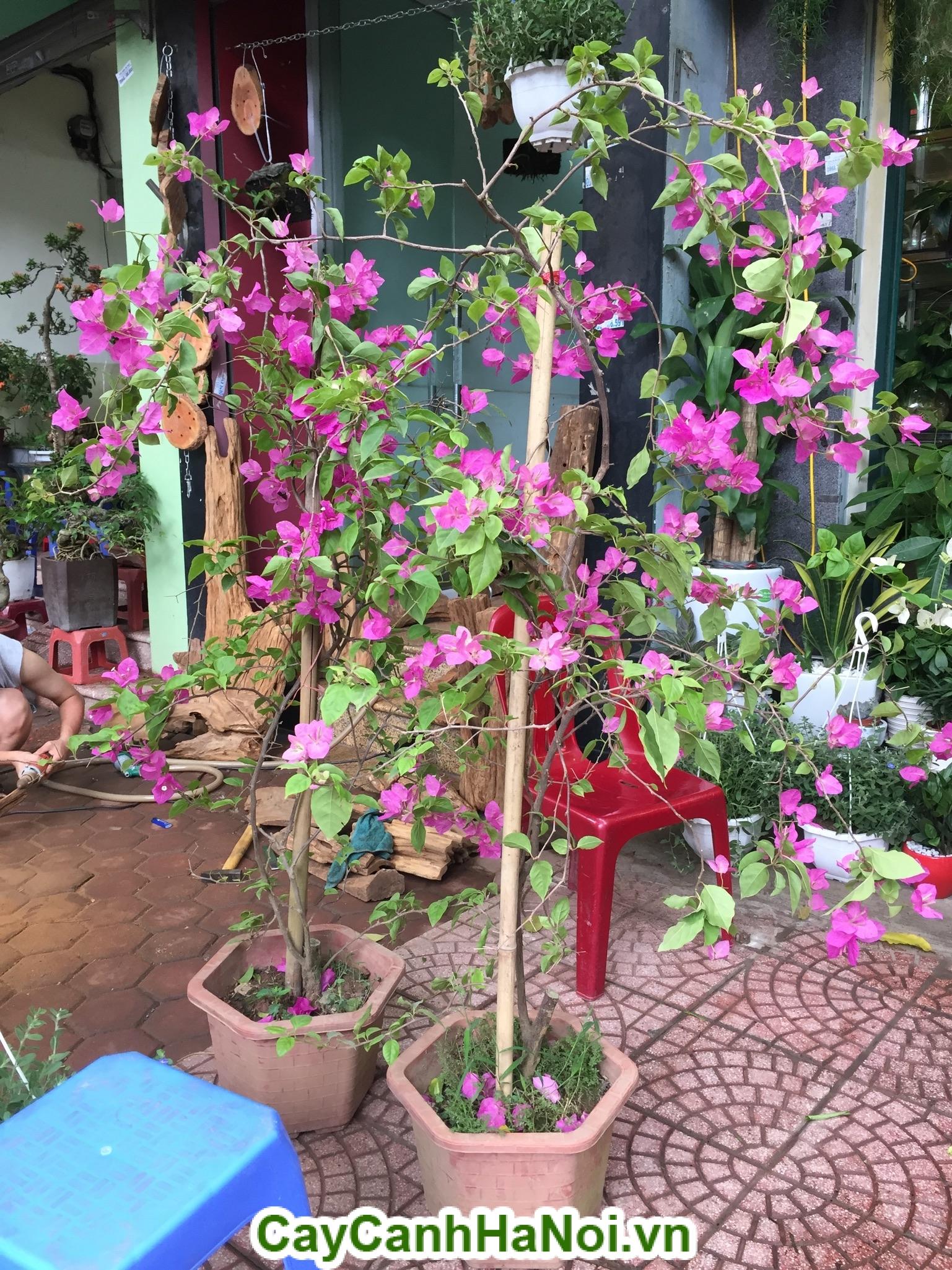 Cây Hoa Giấy là loại cây leo rất dễ trồng