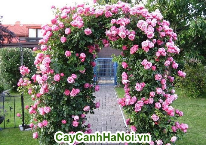 Hoa hồng leo là loại cây leo giàn giúp làm nổi bật ngôi nhà cũng như là quán cafe của bạn