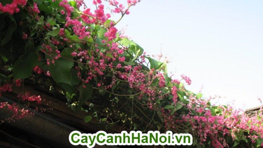 Hoa Ti gôn là loài hoa được ưa thích vừa để trang trí vừa để lấy bóng mát