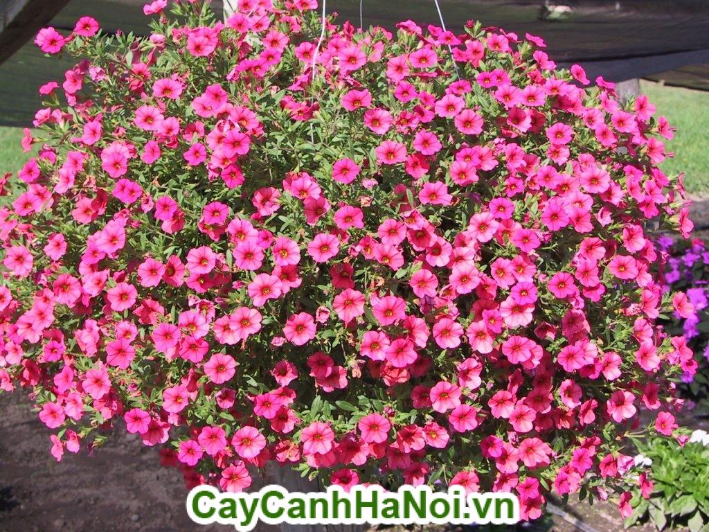 Hoa triệu chuông và đặc điểm của nó