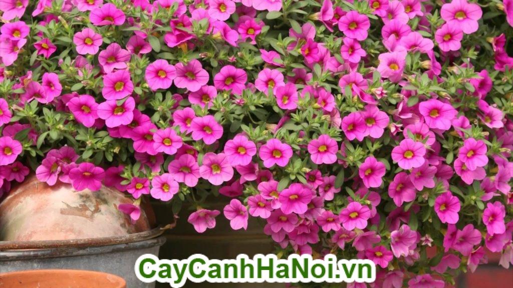 Hoa triệu chuông và đặc điểm nhận dạng của nó