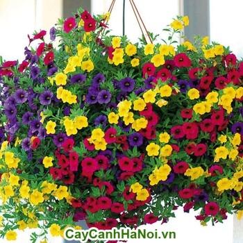 Hoa Triệu Chuông với nhiều màu sắc và trồng tại ban công nhà