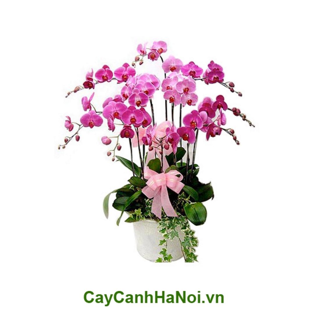 Hoa Lan Hồ Điệp màu hồng tím và đặc điểm nhận dạng của nó
