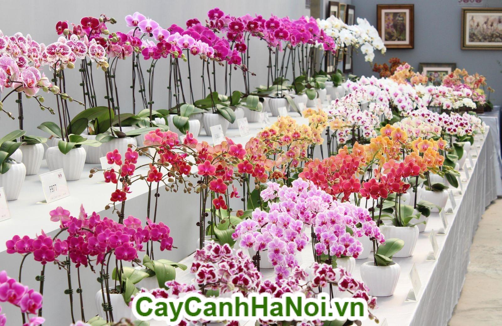 Hoa Lan Hồ Điệp – Nữ hoàng của các loài hoa
