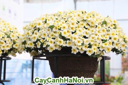 Hoa Triệu Chuông trắng thích hợp để trong nhà để tô điểm thêm cho căn nhà của bạn